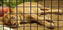 [صورة مرفقة: 220px-Barbary_lioness.jpg]