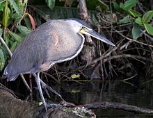 Bare-throated-Tiger Heron.jpg