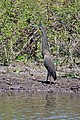 Bare-throated Tiger-Heron - Tigrisoma mexicanum (33540606731).jpg