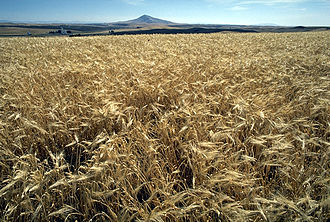 Counting of the Omer - Modern barley field.