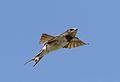 Barn swallow, Hirundo rustica, at Rietvlei Nature Reserve, Gauteng, South Africa (30606880583).jpg