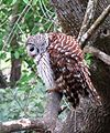 Barred Owl (25840348850).jpg