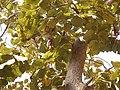 Bauhinia foveolata (8482293500).jpg