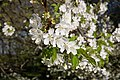 Baumblüte im Pötzleinsdorfer Schlosspark, Detail 1, 14. April 2018.jpg