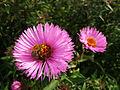 Bee and Purple Flowers (5573608288).jpg