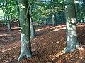 Beech wood, Burchett's Green - geograph.org.uk - 597086.jpg