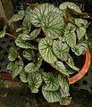 Begonia 3.jpg