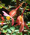 Begonia foliosa var. miniata (9432691148).jpg