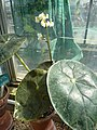 Begonia kautskyana-plant.JPG