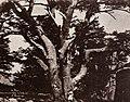 Benecke, E. - Libanon-Gebirge; Stamm einer der Zedern Salomos (Zeno Fotografie).jpg
