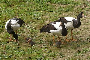 Group of three magpie geese with small chicks