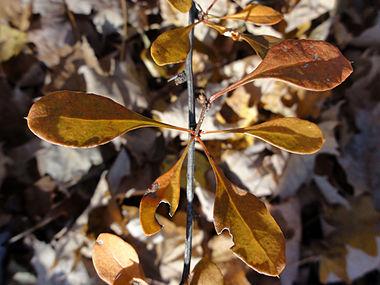 Berberis thunbergii SCA-05347.jpg