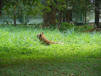 Best tiger.jpg