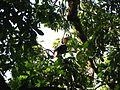 Bird Wreathed hornbill Rhyticeros undulatus IMG 7837 09.jpg