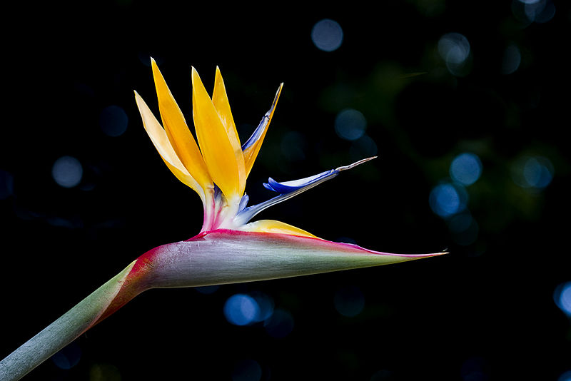 File:Bird of Paradise with sparkly bokeh (7365481326).jpg