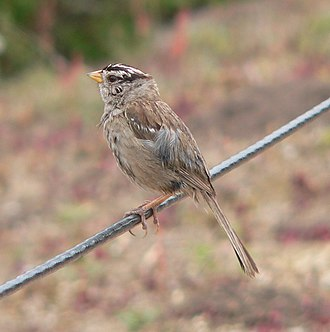 White-crowned sparrow - Image: Bird on a wire p 1060660