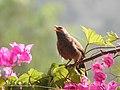 Birds from Ezhimala DSCN7058.jpg