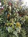 Bixa orellana - Lipstick Tree at Iritty 6.jpg