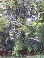 Blühender Baum im Alten Land.jpg