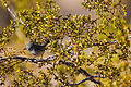 Black-Tailed Gnatcatcher (23544655036).jpg