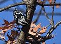 Black-and-white Warbler (documentation photos) (31406911037).jpg