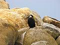 Black-bellied Little Pied Cormorant.jpg