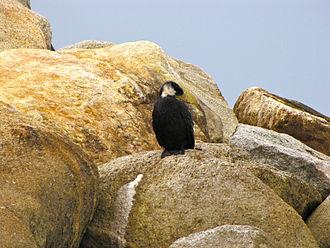 Little pied cormorant - Melanistic morph in Marahau, New Zealand