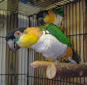Black-headed Caique adult pets in cage.JPG