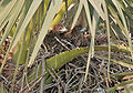 Black Kite (Milvus migrans)- Juveniles at nest at Palmyra Palm (Borassus flabillifer) in Kolkata I IMG 1802.jpg