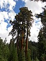 Black Mountain Sequoia Grove The Four Horsemen.jpg