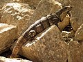 Black Spiny-tailed Iguana (16008004024).jpg