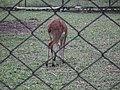 Black buck at Bannerghatta National Park 8656.JPG