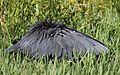 Black heron, Egretta ardesiaca, at Marievale Nature Reserve, Gauteng, South Africa (30452762395).jpg