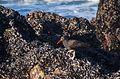 Black oystercatcher (12349).jpg