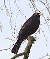 Blackbird7 (3414896584).jpg