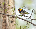 Blackburnian Warbler Setophaga fusca, Green Ridge State Forest, MD 1.jpg