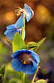 Blauer indischer Mohn.jpg