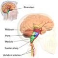 Blausen 0114 BrainstemAnatomy.png