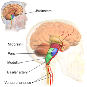 Arousal - Structures of the brainstem, the origin of the arousal system, viewed along the sagittal plane