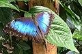 Blauwe morpho Morpho peleides.jpg