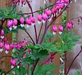 Bleeding Heart (5718074638).jpg