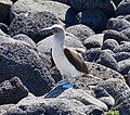 Blue-footed Booby (47751355072).jpg