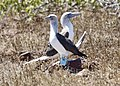 Blue-footed boobies (40829769803).jpg