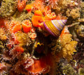 Blue-ring top snail (calliostoma annulatum) MB.jpg