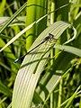 Blue-tailed Damselfly (34720227142).jpg