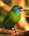 Blue-throated Barbet (8579595305).jpg