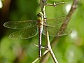 Blue Emperor Dragonfly (Anax imperator) (11566974506).jpg