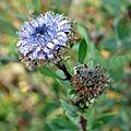 Blue Globularia - Flickr - treegrow (1).jpg