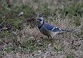 Blue Jay (33301619006).jpg