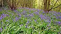 Bluebell Wood - geograph.org.uk - 1281900.jpg